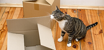 Cats Playing with Cardboard Box