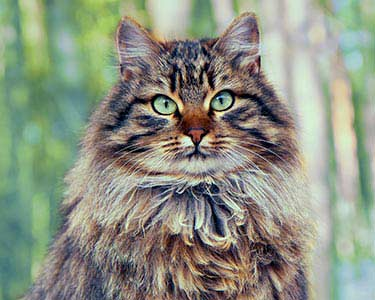 best cat breeds when you're allergic: siberian