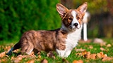Dog Welsh Corgi Cardigan Card Desktop