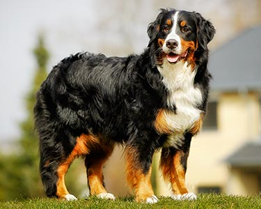 Bernese Mountain Dog Dog Breeds Purina Australia