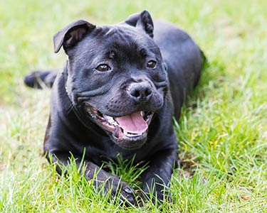 Is a staffordshire bull terrier a pitbull