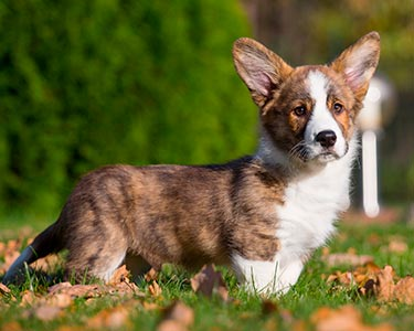 Welsh Corgi Cardigan Dog Breed Information and Personality Traits