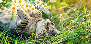 Cat Laying on Back Looping at Flowers